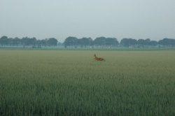 Hert boven het graan uit